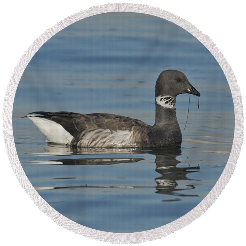 Brant Round Beach Towel featuring the photograph Brant Feeding On Eel Grass by Anthony Mercieca