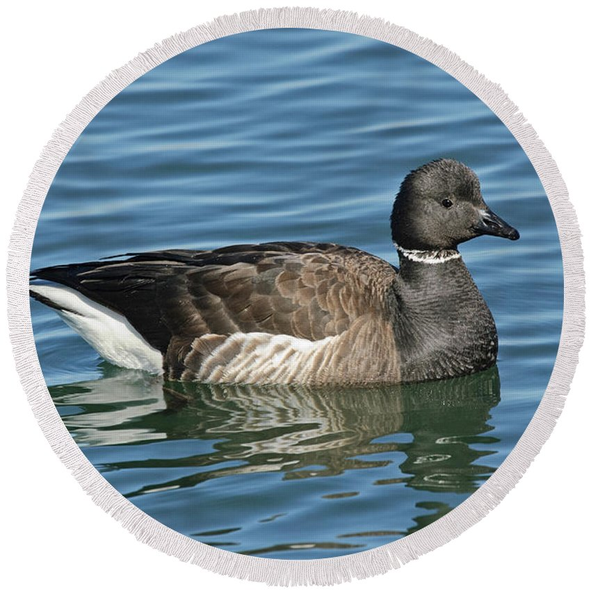 Animal Round Beach Towel featuring the photograph Brant On Calm Water by Anthony Mercieca