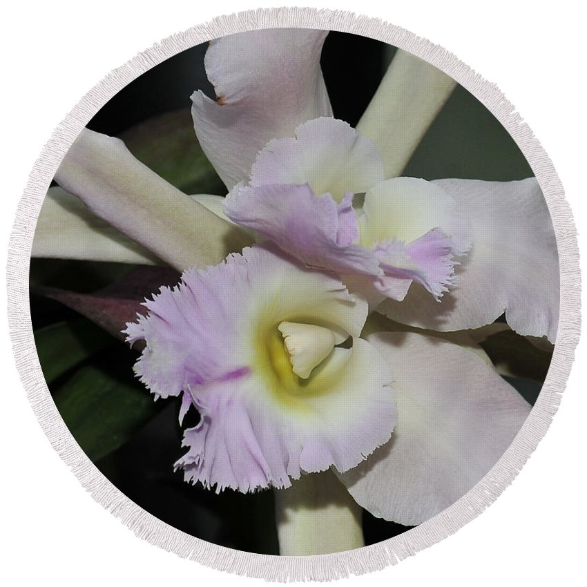 White Orchid Round Beach Towel featuring the photograph Brassocattleya Princess Teresa 1 Of 2 by Terri Winkler