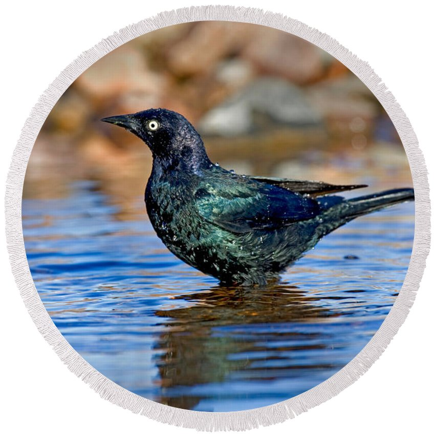 Fauna Round Beach Towel featuring the photograph Brewers Blackbird In Water by Anthony Mercieca