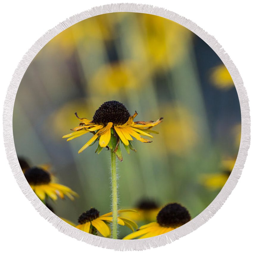 Brown Eyed Susan Round Beach Towel featuring the photograph Brown Eyed Susans On Yellow And Green by Photographic Arts And Design Studio