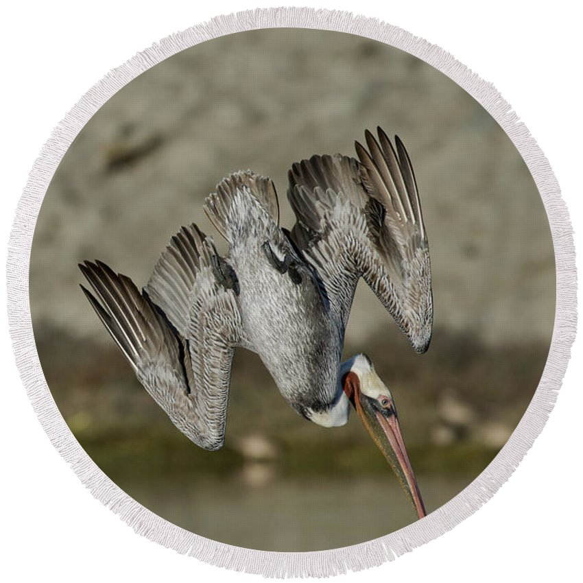 Brown Pelican Round Beach Towel featuring the photograph Brown Pelican Diving by Anthony Mercieca