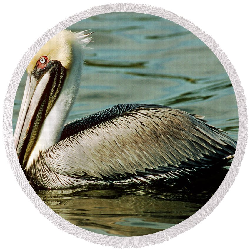 Animal Round Beach Towel featuring the photograph Brown Pelican Swimming by Millard H. Sharp