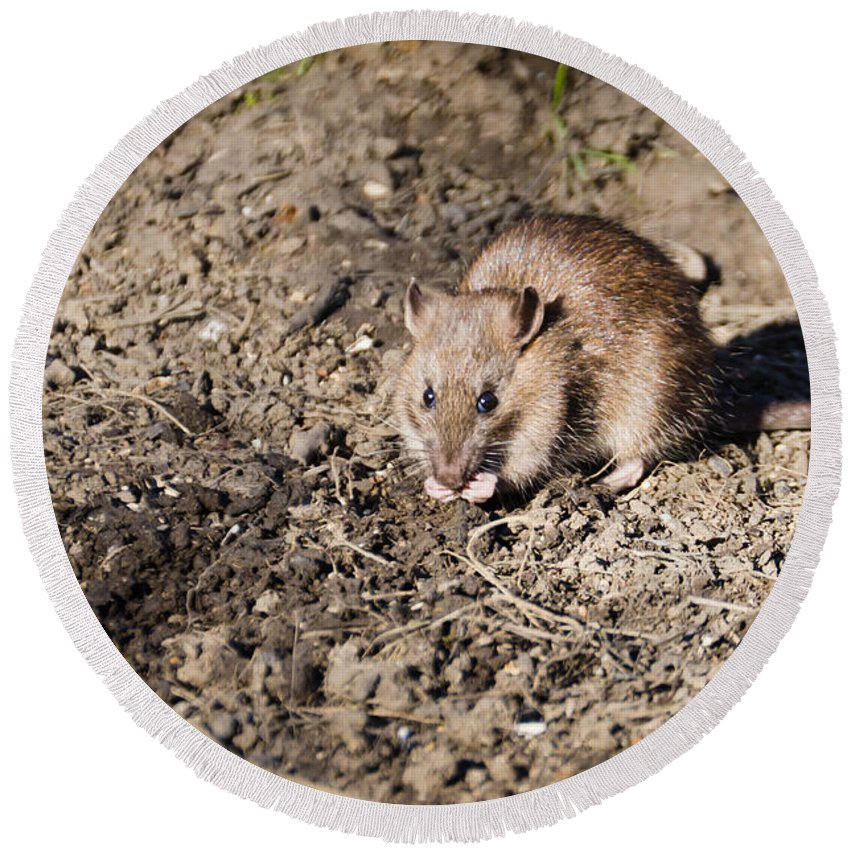 Animal Round Beach Towel featuring the photograph Brown Rat by David Head