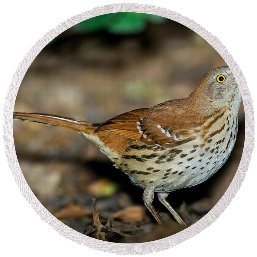 Brown Thrasher Round Beach Towel featuring the photograph Brown Thrasher by Anthony Mercieca