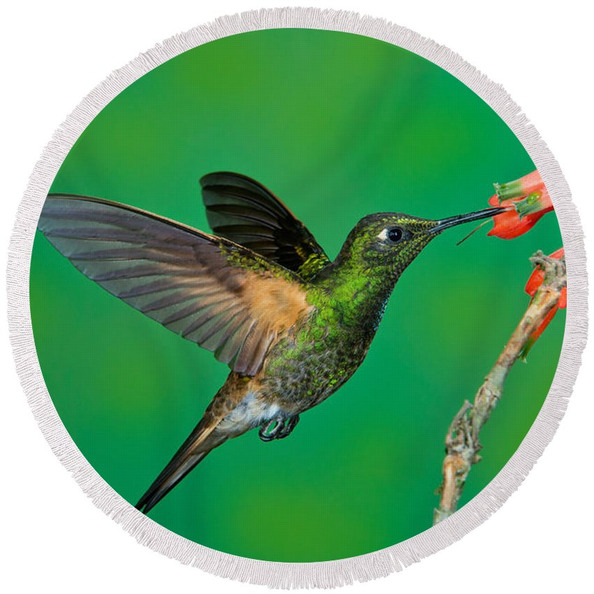 Buff-tailed Coronet Round Beach Towel featuring the photograph Buff-tailed Coronet by Anthony Mercieca