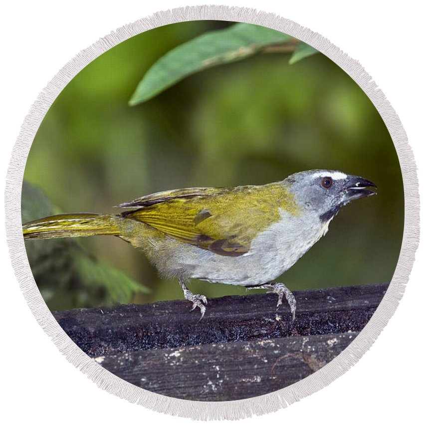 Animal Round Beach Towel featuring the photograph Buff-throated Saltator by Anthony Mercieca