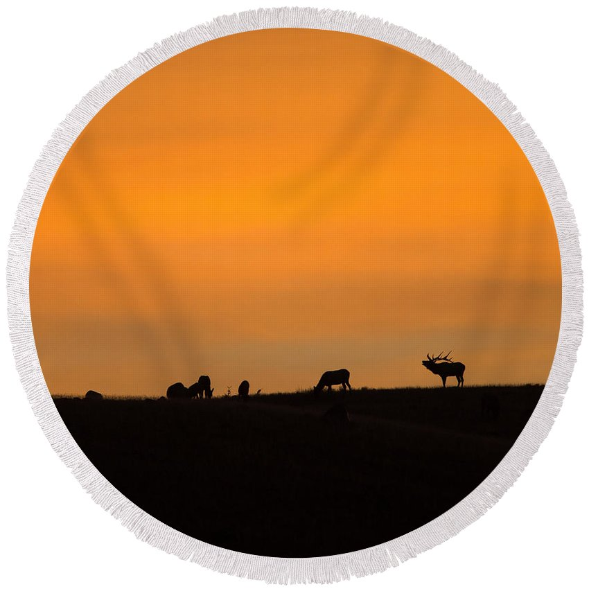 Elk Round Beach Towel featuring the photograph Bugling Autumn Elk by Max Waugh