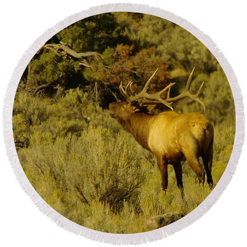Elk Round Beach Towel featuring the photograph Bull Elk Calling Out by Jeff Swan