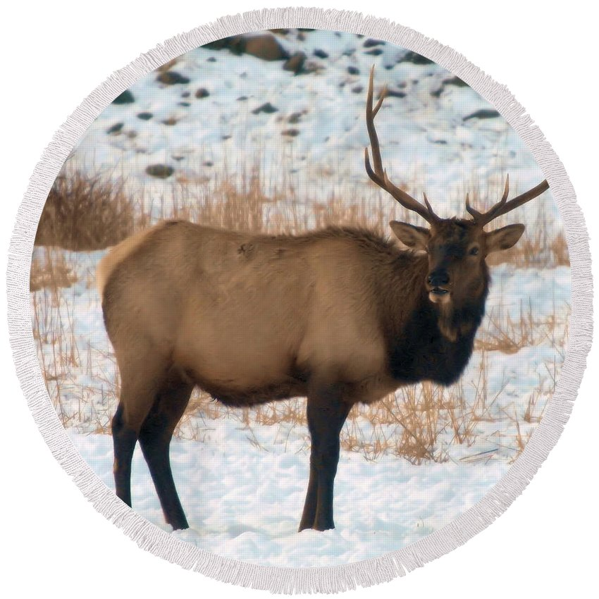 Elk Round Beach Towel featuring the photograph Bull Elk by Jeff Swan