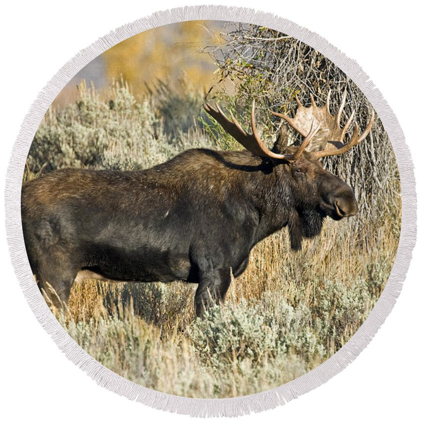 Alces Alces Round Beach Towel featuring the photograph Bull Moose by Anthony Mercieca