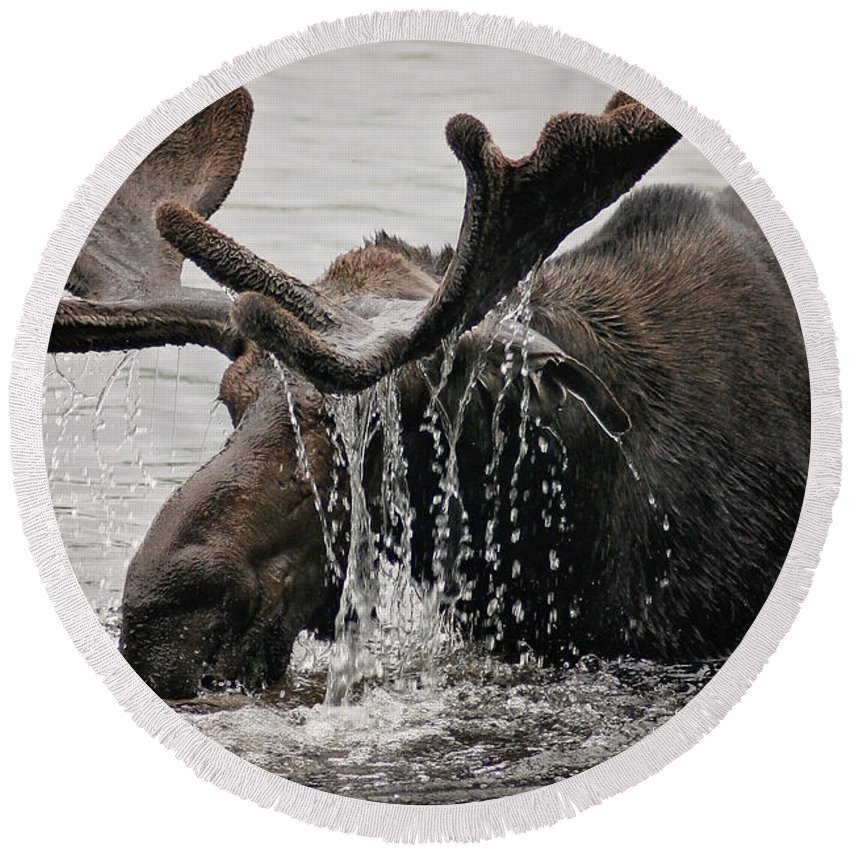 Maine Wildlife Round Beach Towel featuring the photograph Bull Moose by Sharon Fiedler