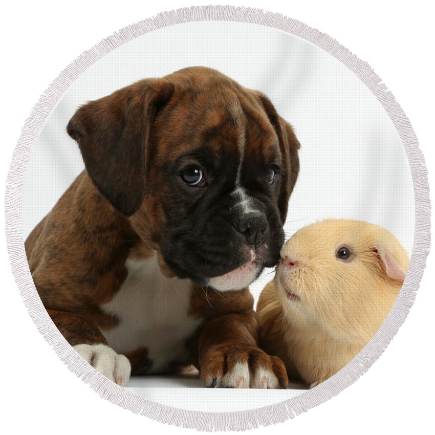 Nature Round Beach Towel featuring the photograph Bulldog Puppy With Yellow Guinea Pig by Mark Taylor