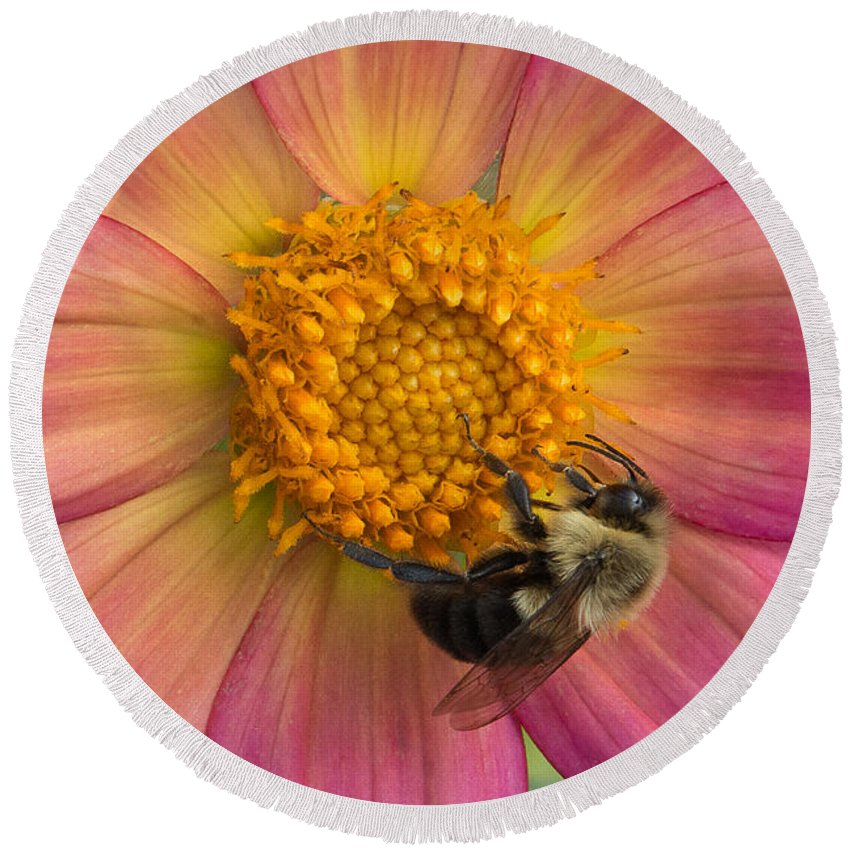Minnesota Landscape Arboretum Round Beach Towel featuring the photograph Bumble Bee Dahlia by Joan Wallner