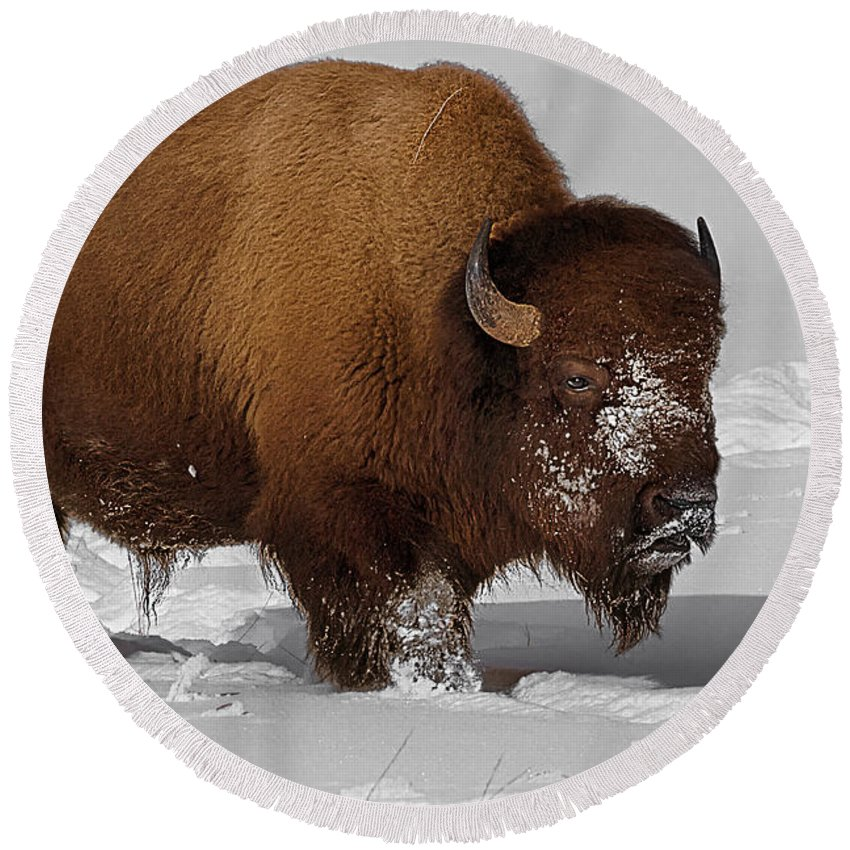 Bison Round Beach Towel featuring the photograph Burly Bison by Priscilla Burgers