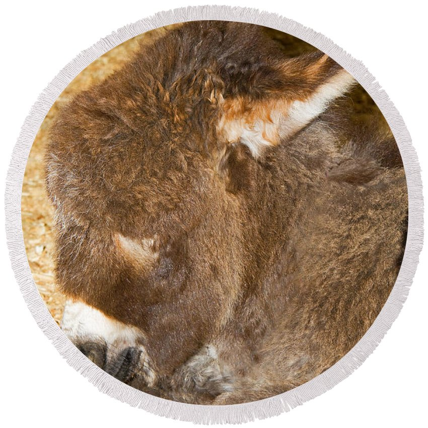 Nature Round Beach Towel featuring the photograph Burro Foal by Millard H. Sharp