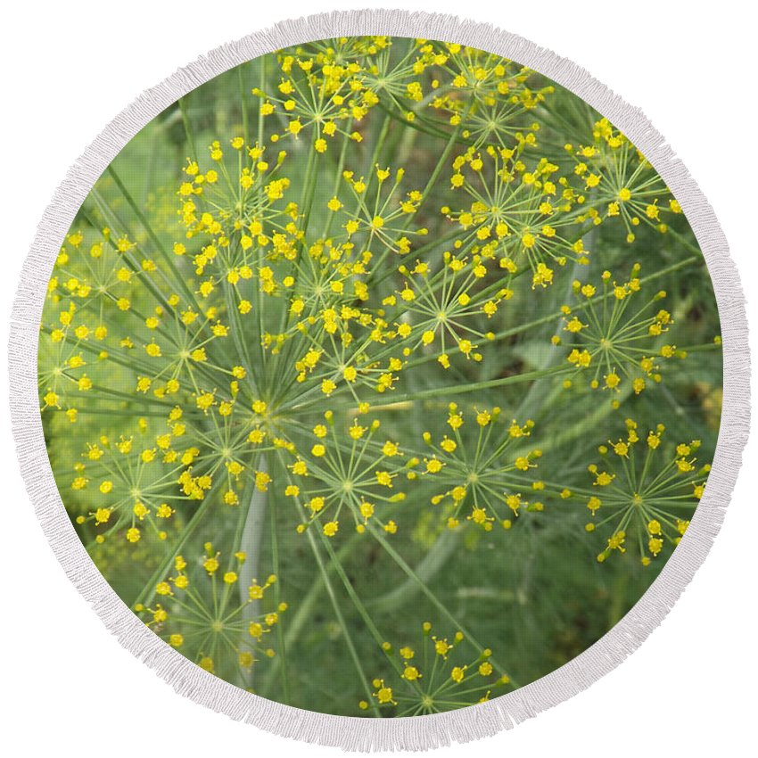 Dill Round Beach Towel featuring the photograph Bursting Dill Plant by Brenda Brown