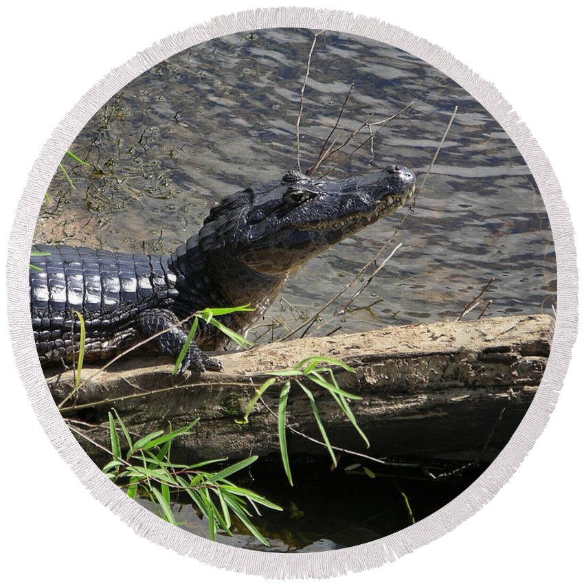 Animals Round Beach Towel featuring the digital art Caiman by Carol Ailles