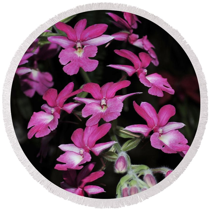 Pink Orchid Round Beach Towel featuring the photograph Calanthe Rubens #1 Of 2 by Terri Winkler