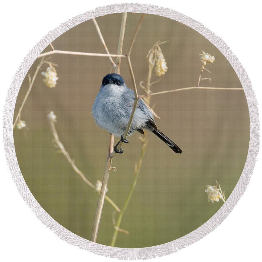 Fauna Round Beach Towel featuring the photograph California Gnatcatcher by Anthony Mercieca