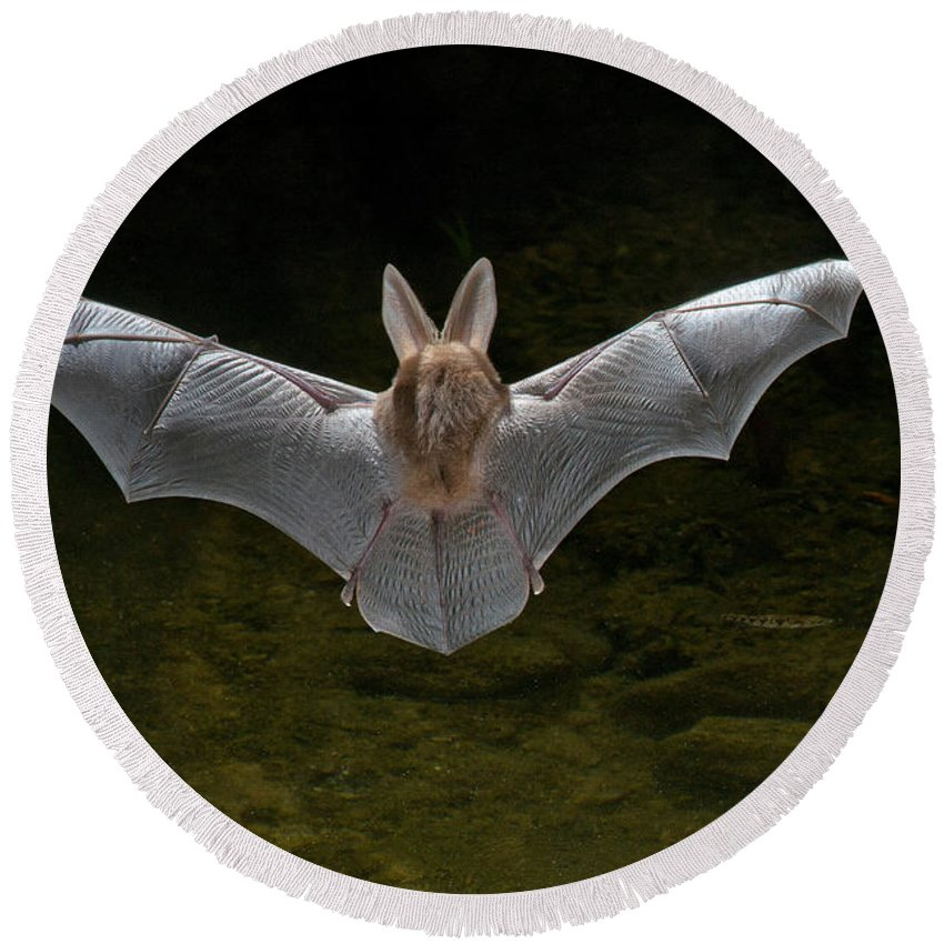 Animal Round Beach Towel featuring the photograph California Leaf-nosed Bat by Anthony Mercieca
