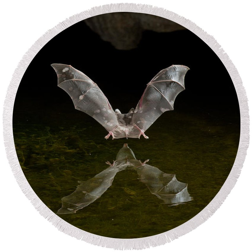 Animal Round Beach Towel featuring the photograph California Long-nosed Bat Flying Away by Anthony Mercieca