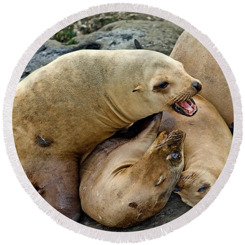 California Sealion Round Beach Towel featuring the photograph California Sea Lions by Anthony Mercieca