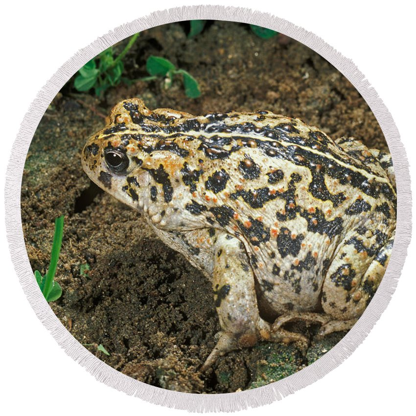 Animal Round Beach Towel featuring the photograph California Toad Bufo Boreas Halophilus by Anthony Mercieca