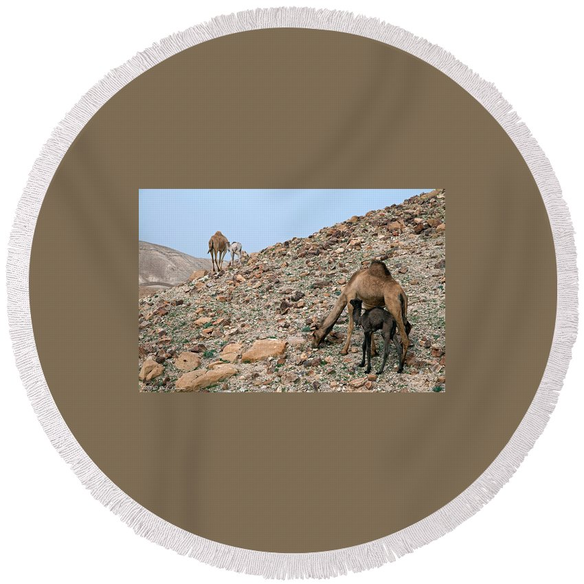 Camels Round Beach Towel featuring the photograph Camels At The Israel Desert -1 by Dubi Roman