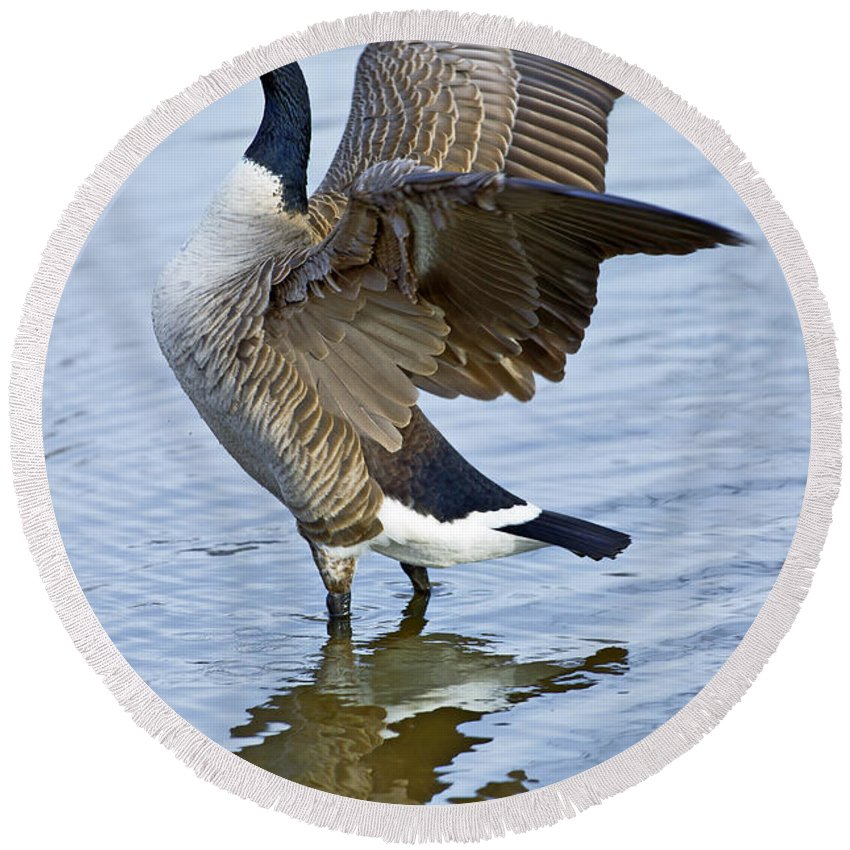 Canadian Round Beach Towel featuring the photograph Canadian Goose Stretching by Gary Langley