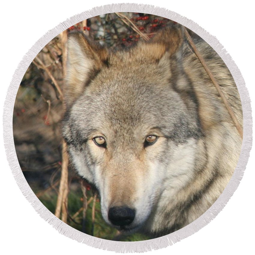 Wolf Round Beach Towel featuring the photograph Canis Lupus by Neal Eslinger