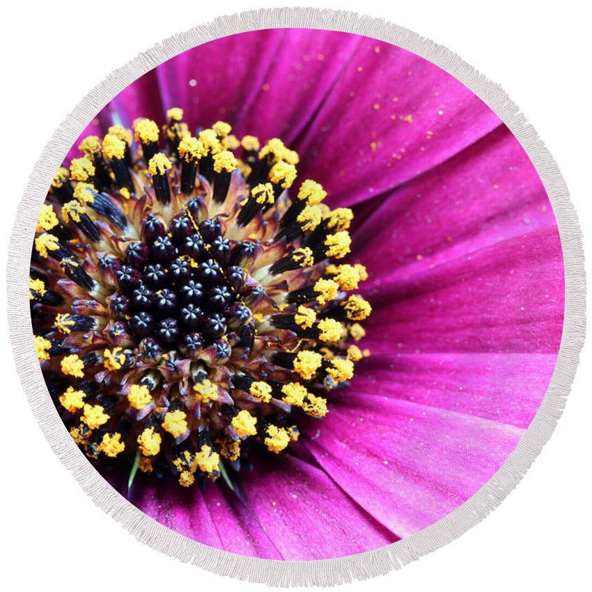 Bloom Round Beach Towel featuring the photograph Cape Daisy Close Up by Paul Fell