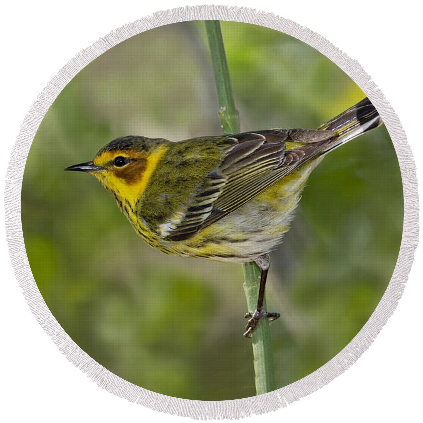 Cape May Warbler Round Beach Towel featuring the photograph Cape May Warbler by Anthony Mercieca