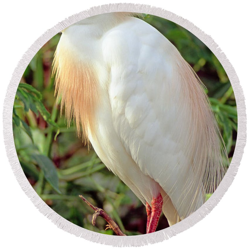 Animal Round Beach Towel featuring the photograph Cattle Egret Adult In Breeding Plumage by Millard H. Sharp