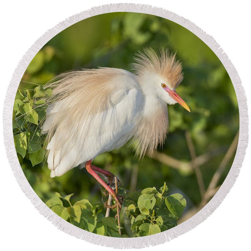 Cattle Egret Round Beach Towel featuring the photograph Cattle Egret by Anthony Mercieca