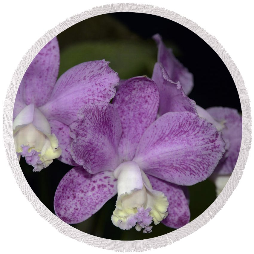 Orchid Round Beach Towel featuring the photograph Cattleya Loddigesii 3877 by Terri Winkler