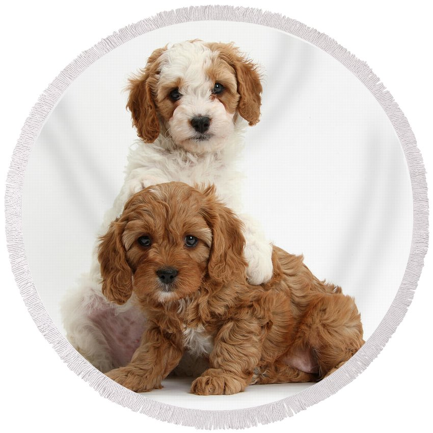Nature Round Beach Towel featuring the photograph Cavapoo Puppies by Mark Taylor