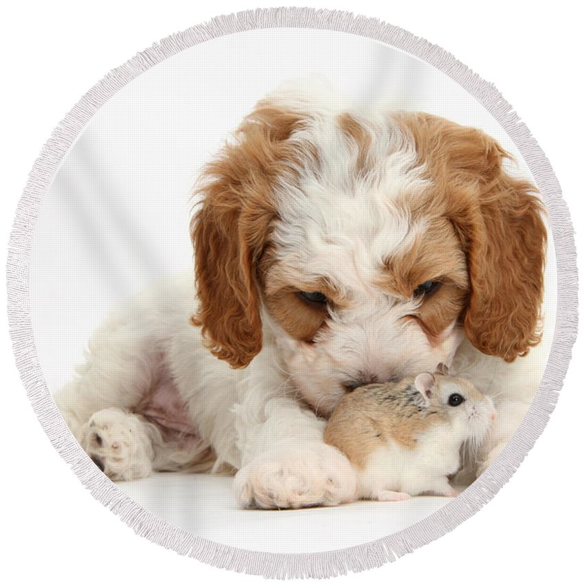 Nature Round Beach Towel featuring the photograph Cavapoo Puppy And Roborovski Hamster by Mark Taylor