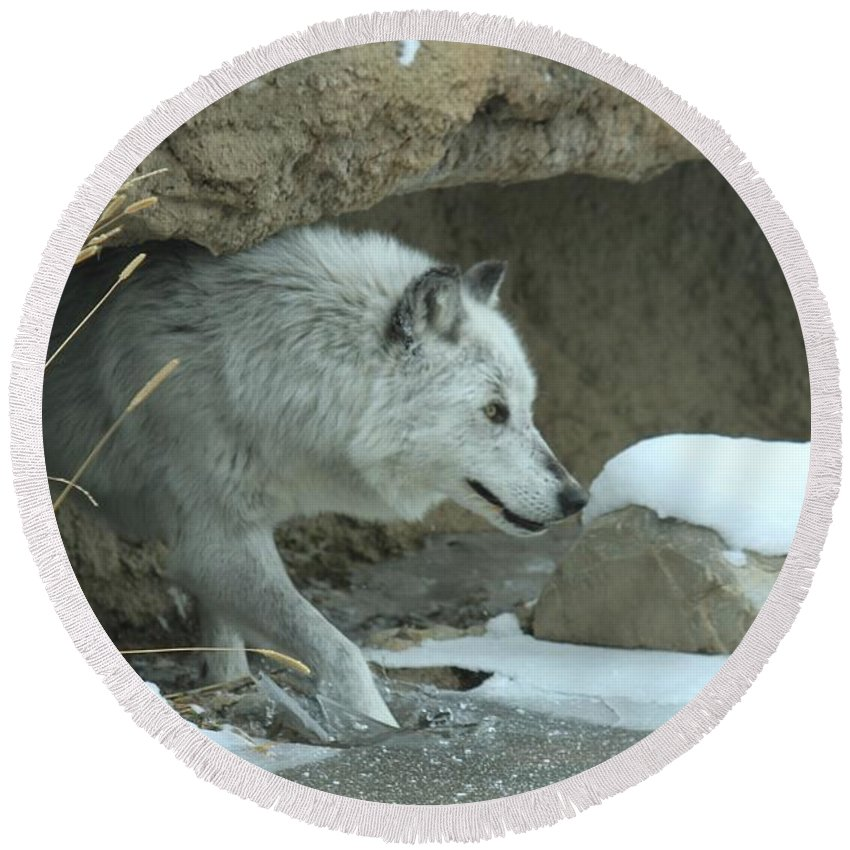 Gray Wolf Round Beach Towel featuring the photograph Cave Dweller by Adam Jewell