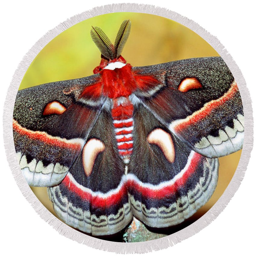 Cecropia Moth Round Beach Towel featuring the photograph Cecropia Moth Hyalophora Cecropia by Millard H. Sharp