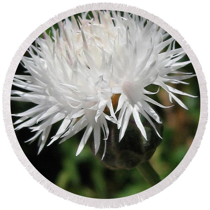 Centaurea Round Beach Towel featuring the painting Centaurea Named The Bride by J McCombie