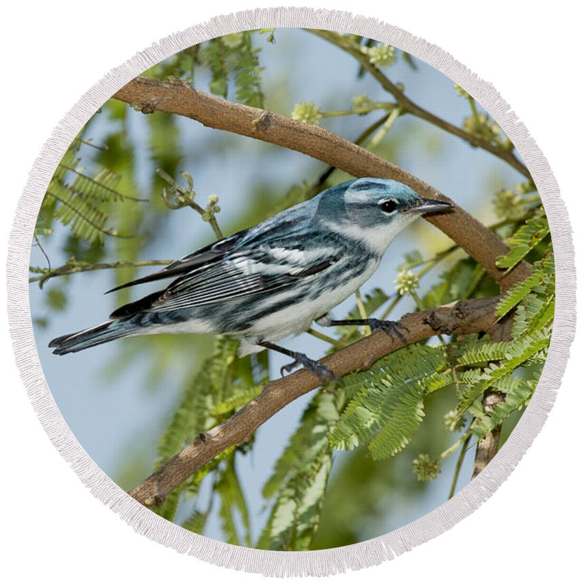 Cerulean Warbler Round Beach Towel featuring the photograph Cerulean Warbler by Anthony Mercieca