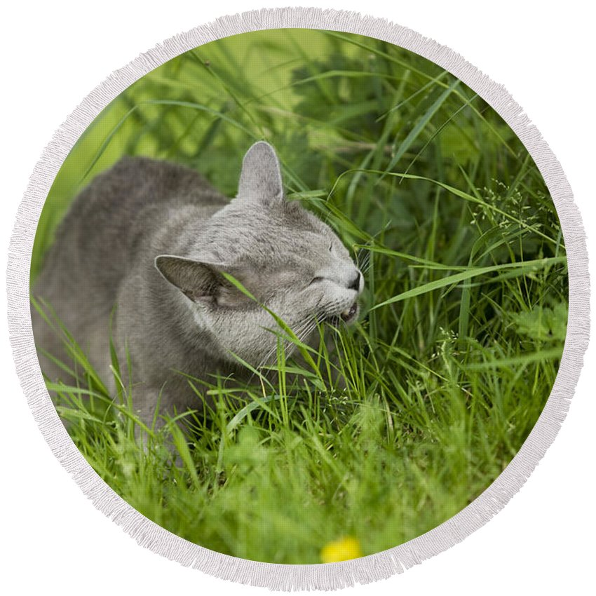 Cat Round Beach Towel featuring the photograph Chartreux Cat And Grass by Jean-Michel Labat
