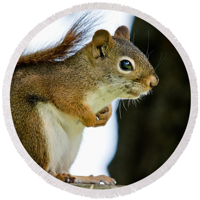 Squirrel Round Beach Towel featuring the photograph Chatty Squirrel by Cheryl Baxter