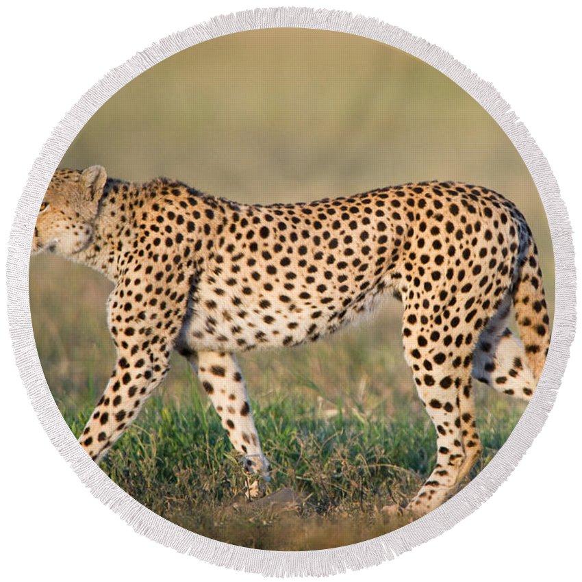 Photography Round Beach Towel featuring the photograph Cheetah Acinonyx Jubatus Walking by Panoramic Images