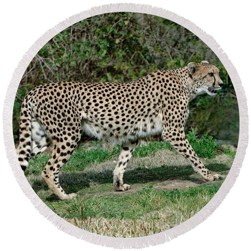Cheetah Round Beach Towel featuring the photograph Cheetah Strolling by Anthony Mercieca