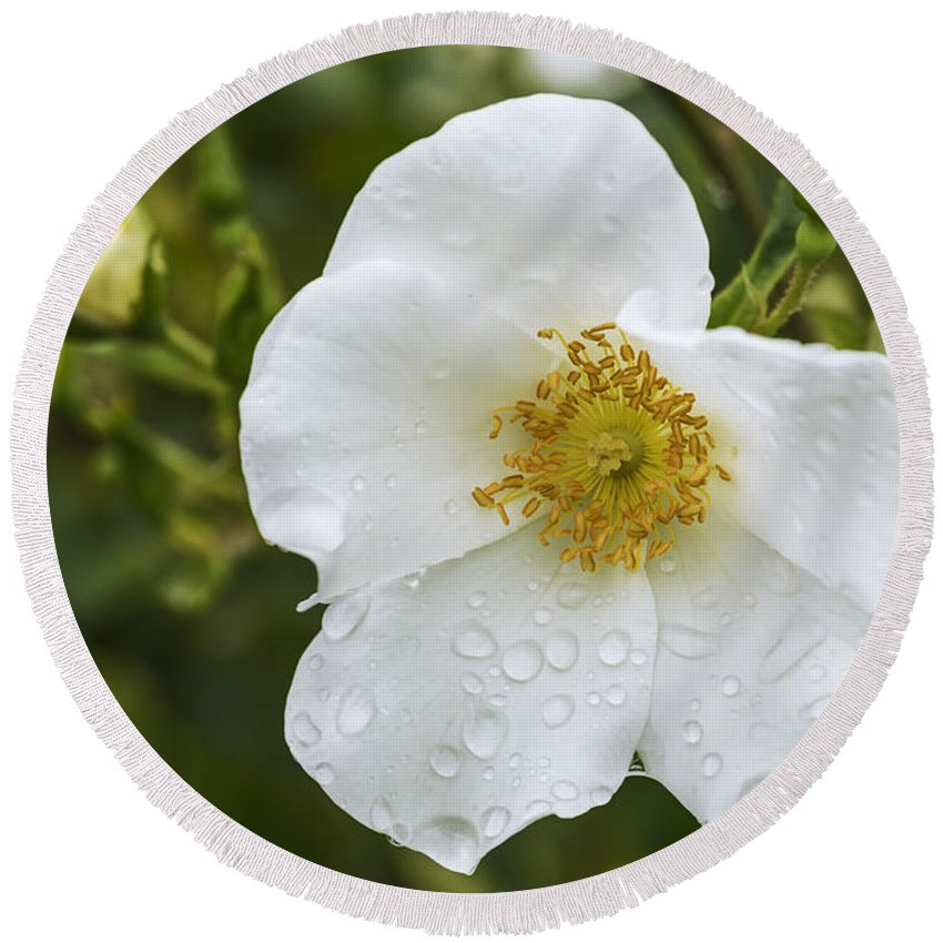 Rose Round Beach Towel featuring the photograph Cherokee Rose With Rain Drops by Vishwanath Bhat