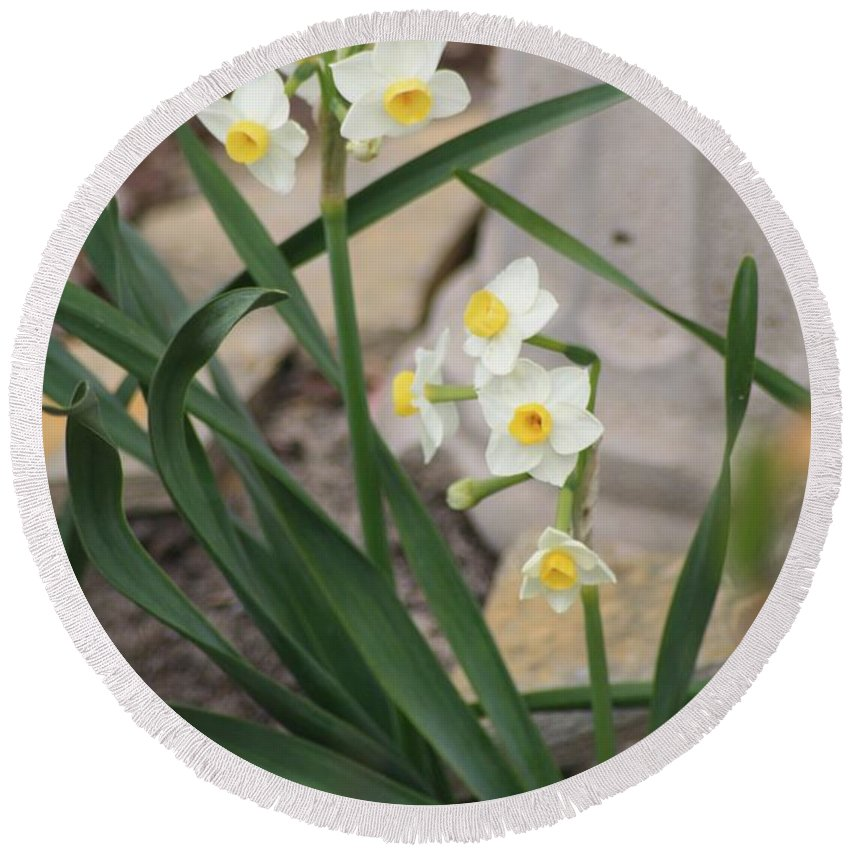 Narcissus Round Beach Towel featuring the photograph Chinese Sacred Lily by John W Smith III