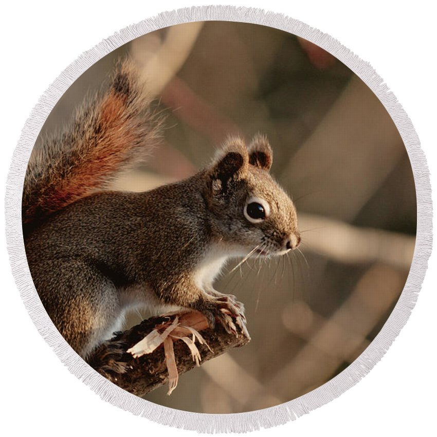 Squirrel Round Beach Towel featuring the photograph Chippy Perched by Cheryl Baxter