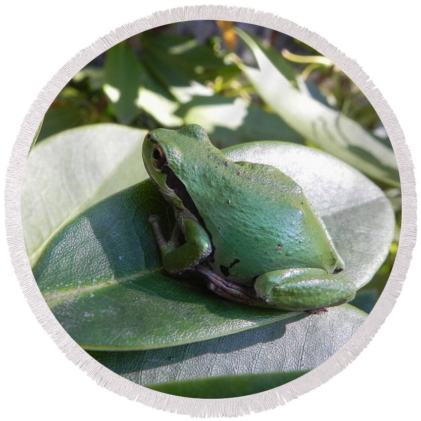 Chorus Frog Round Beach Towel featuring the photograph Chorus Frog On A Rhodo by Cheryl Hoyle